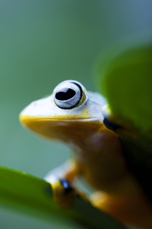 arboreal frog: Flying Frog in the jungle Stock Photo