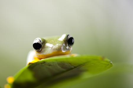 arboreal frog: Flying Frog en la selva