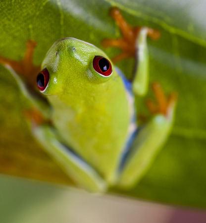 green tree frog: Green tree frog