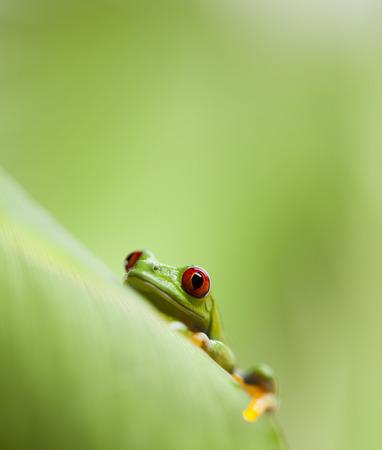 bright eyed: Red eye tree frog