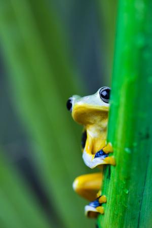 arboreal frog: �rbol de la rana