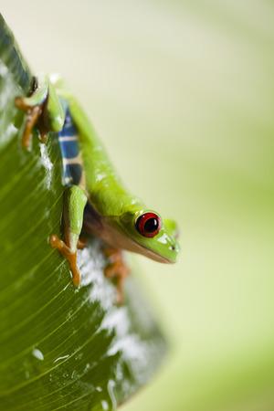 bright eyed: Green tree frog