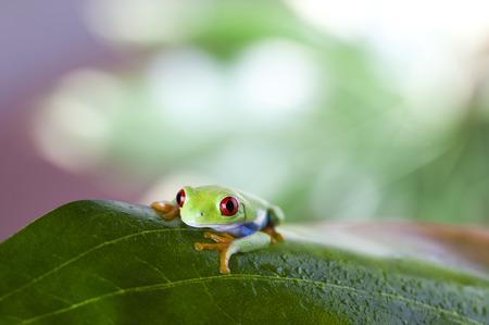 red eyed leaf frog: Frog on the leaf  Stock Photo