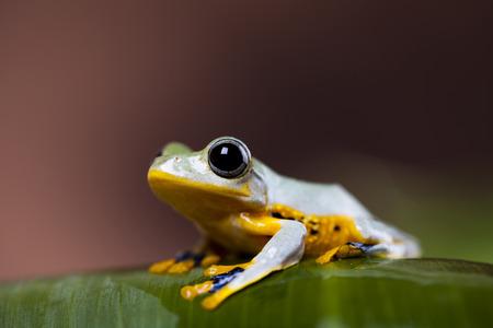 arboreal frog: Flying Frog, Rhacophorus reinwardtii Foto de archivo