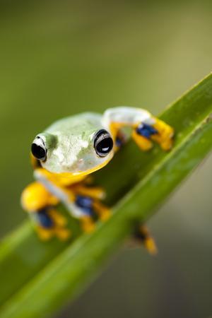 arboreal frog: Rana en la hoja