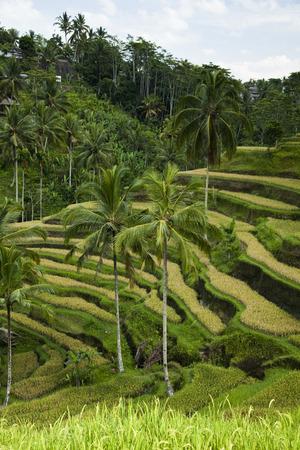 Green rice fields photo