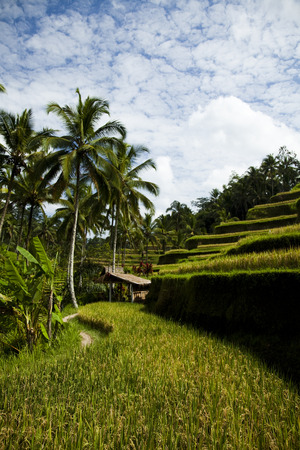 Green rice fields photo