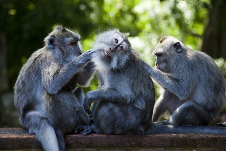 ubud: Monkey, Ubud Bali Indonesia Stock Photo