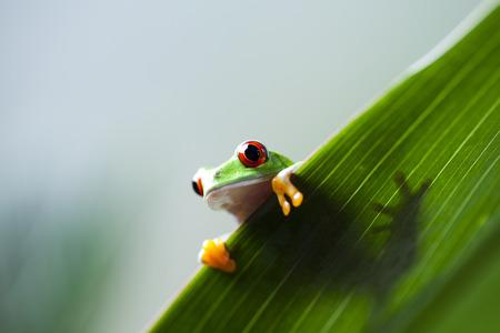 bright eyed: Frog shadow on the leaf