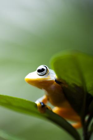 arboreal frog: Rana ex�tica en indonesia Foto de archivo