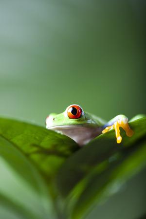arboreal frog: Rana en la selva