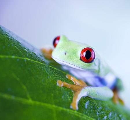 red eyed leaf frog: Red eye tree frog on leaf