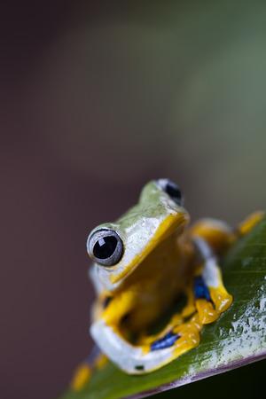 arboreal frog: Rana ex�tica Foto de archivo