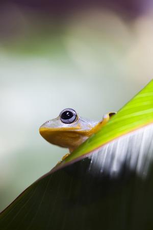 arboreal frog: Rana Foto de archivo