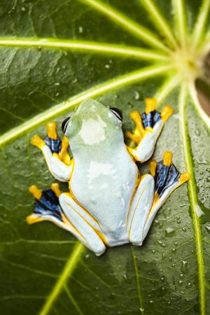 arboreal frog: Rana verde del �rbol Foto de archivo