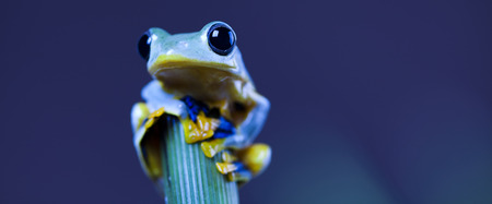 Exotic frog in indonesia photo