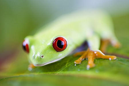 bright eyed: Frog on the leaf  Stock Photo