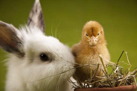 Mały piskląt na króliki na zielony