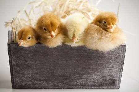 Cute little chicks