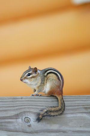 Chipmunk: Little chipmunk Stock Photo