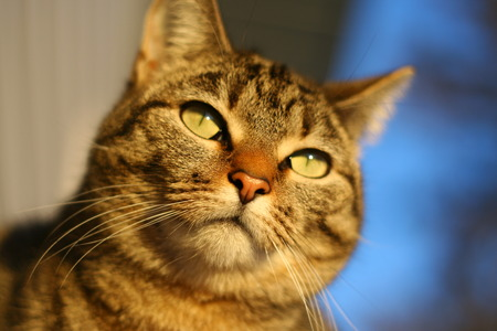 blase: Tabby cat with a sontemplative expression
