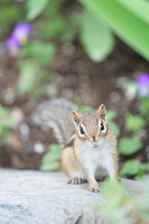 curiously: Cute chipmunk sitting warily, curiously looking at camera