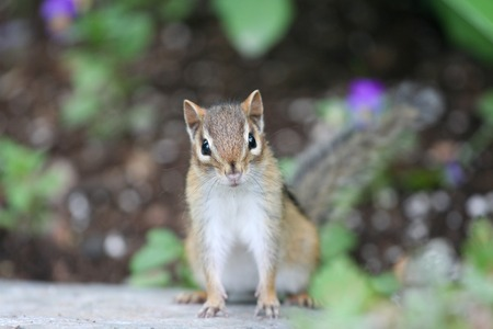 curiously: Adorable Chipmunk curiously looking at camera. Stock Photo