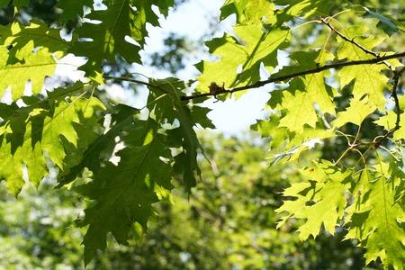 dappled: Oak leaves in dappled sunlight.