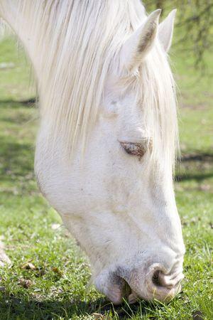 eating: White draft horse eating grass
