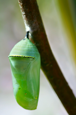 monarch: Pale green Monarch butterfly chrysalis hanging off a branch Stock Photo