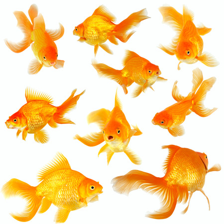 fantail: Collage of nine beautiful fantail goldfish on white