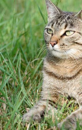 gray tabby: Gray tabby cat at rest in grass Stock Photo