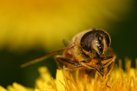 Macro of a bee on dandelion