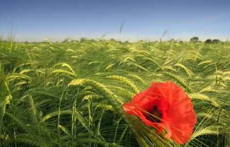 Lonely poppy on wheat field