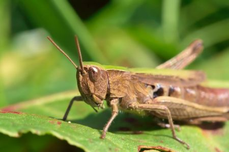 malefactor: Very detailed close up of grasshopper