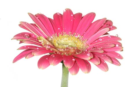 Close up of wet gerber daisy flower Stock Photo