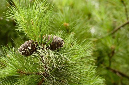 Macro photo of a pinecones photo