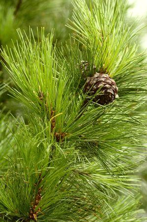pinecones: Macro photo of a pinecones, vertical Stock Photo