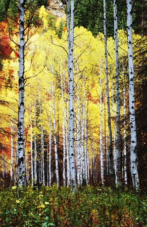 Aspen trees in the wilderness