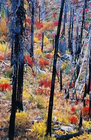 Burned forrest and trees coming back to life