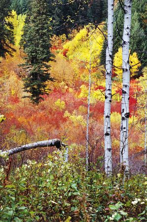 Aspens growing in the wilderness in fall photo