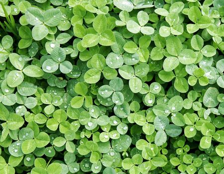 Lucky Clover Background with Dew Stock Photo