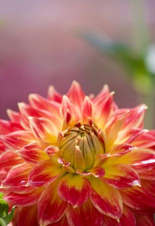 Glowing Pink and Yellow Dahlia