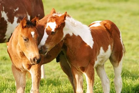 Small painted foals in a field Stock Photo