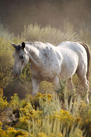 Wild White Horse in the desert