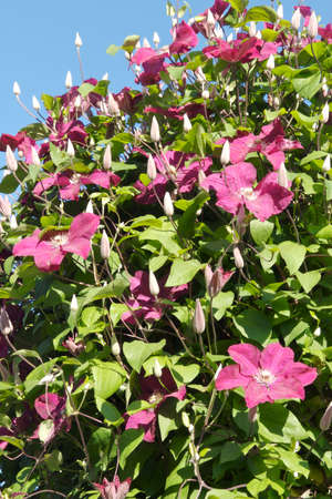 Climbing Pink Clematis Stock Photo