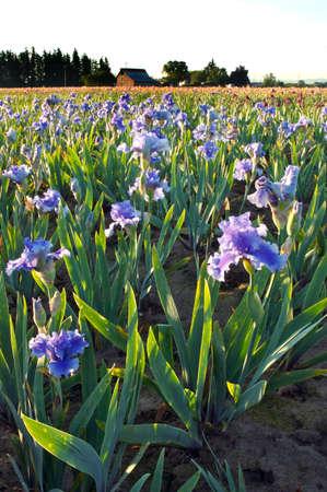 Field of Purple Irises Stock Photo