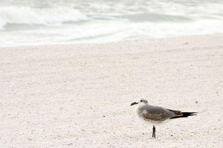 Sea Gull enjoying a Florida beach