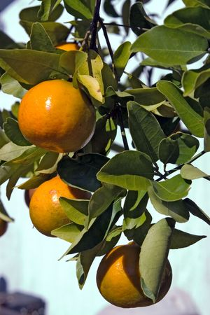 Florida Tangerines hanging on tree almost ripe Stock Photo