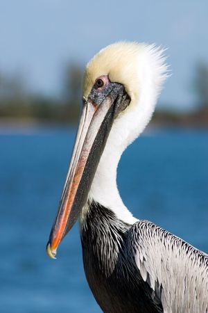 Florida Brown Pelican posing for a portrait Stock Photo - 301354